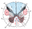 Anterior horn of spinal cord