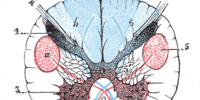 Posterior horn of spinal cord