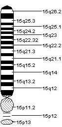 File:Chromosome 15.jpeg