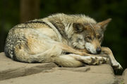 Mexican wolf lounging