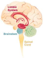 Brain limbicsystem