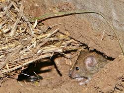Mouse vermin02
