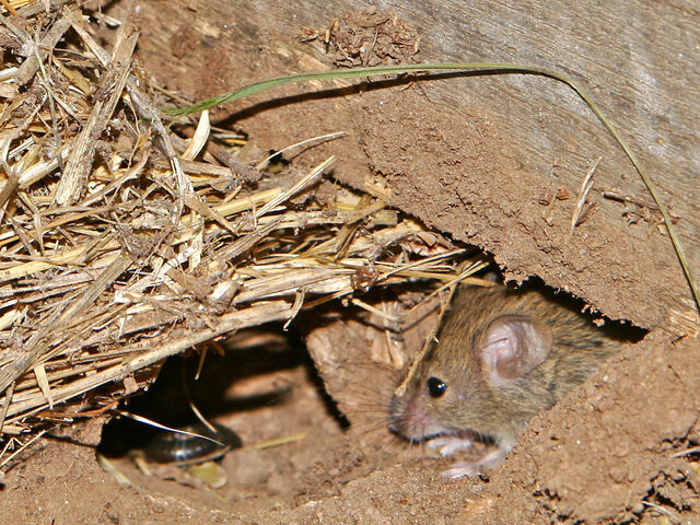 File:Mouse vermin02.jpg