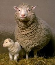 Dolly the sheep2-thumb