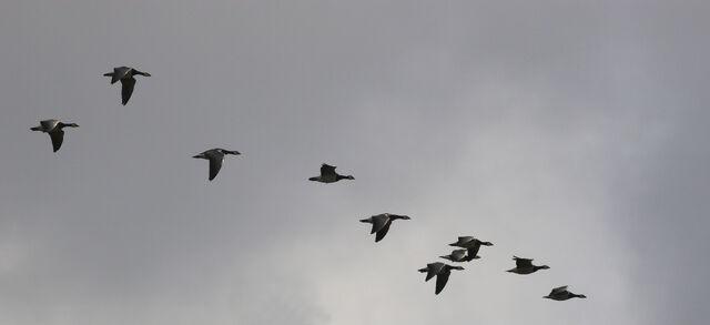 File:MigrationFlock.jpg