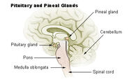 Illu pituitary pineal glands