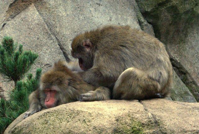 File:Japanese Macaques grooming.jpg