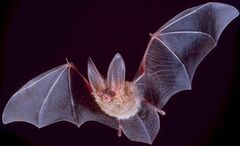 Big-eared-townsend-fledermaus