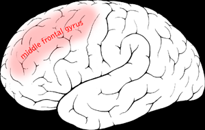 File:Middle frontal gyrus.png