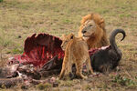 Male Lion and Cub Chitwa South Africa Luca Galuzzi 2004 edit1