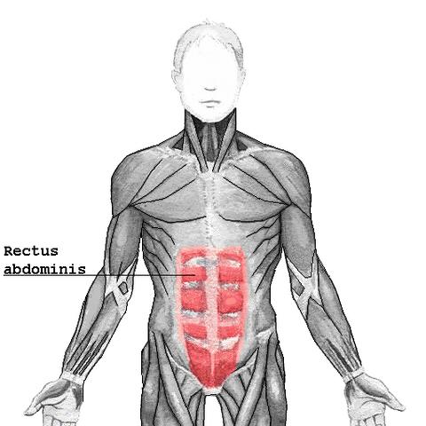 File:Rectus abdominis.png