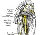 Common fibular nerve