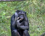Bonobo 009