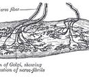 Golgi organ