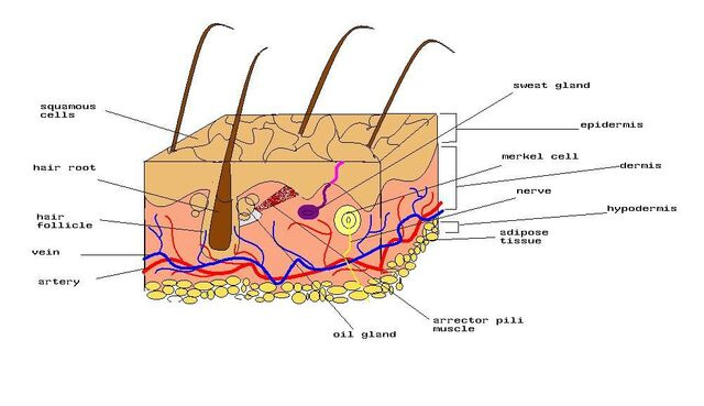 File:Diagram of human skin.jpg