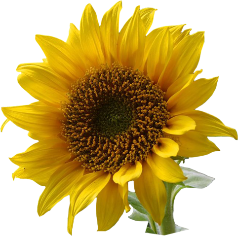 File:A sunflower-Edited.png