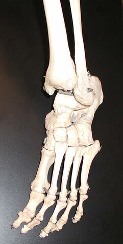 File:Foot-bones.jpg