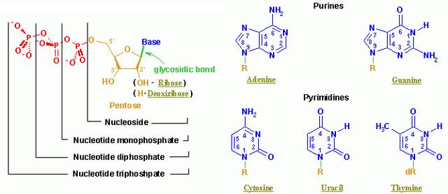 File:Nucleotides.png