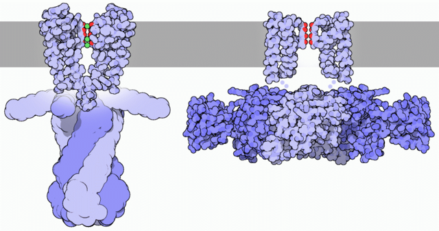 File:Potassium channels shut and open.png