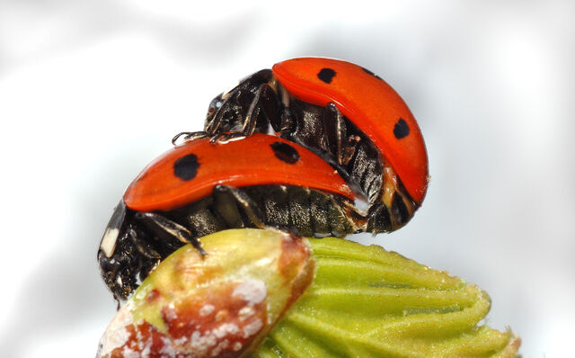 File:Coccinella septempunctata couple (aka).jpg
