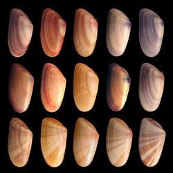 Coquina variation3