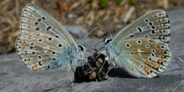 File:Dscn3200-2-butterflies.jpg