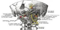 Greater occipital nerve