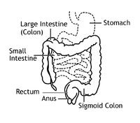 Intestine