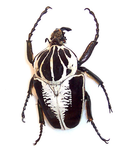 File:Goliath beetle.jpg