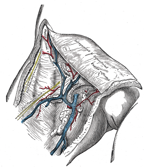 femoral nerve wiki – lickclick, Muscles