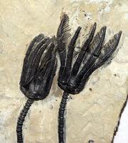Fossile-seelilie