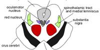 Mesencephalon