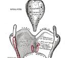 Thyroarytenoid muscle