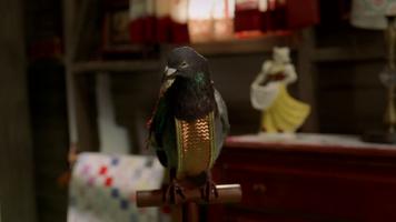 Pigeon 446