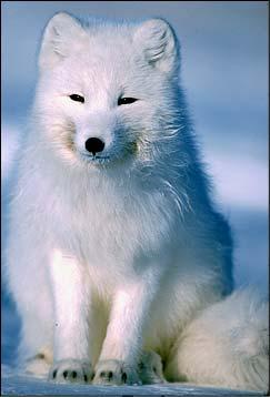 File:Arcticfox1234.jpg