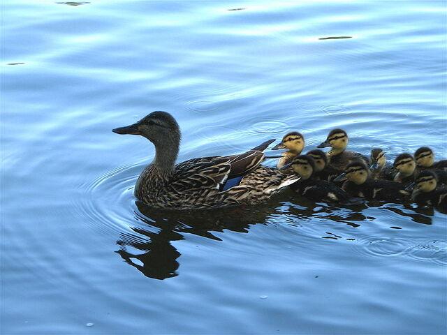 File:Tab duck 2.JPG