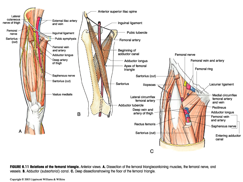 regions anterior:femoral triangle boundary & contents, Muscles
