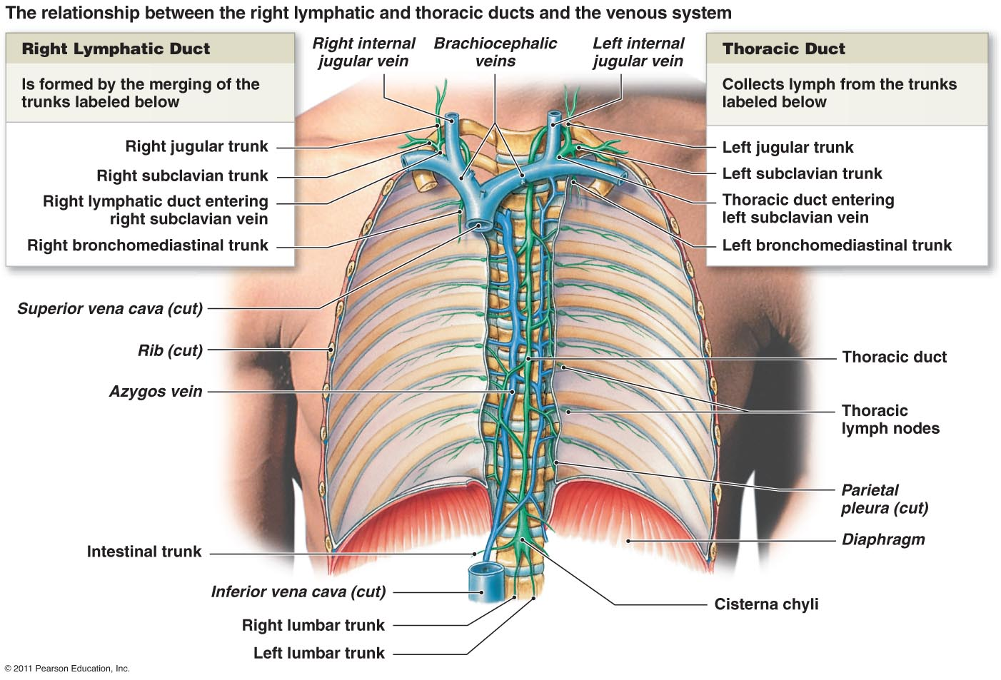 thoracic-duct-11-638.jpg?cb= ...
