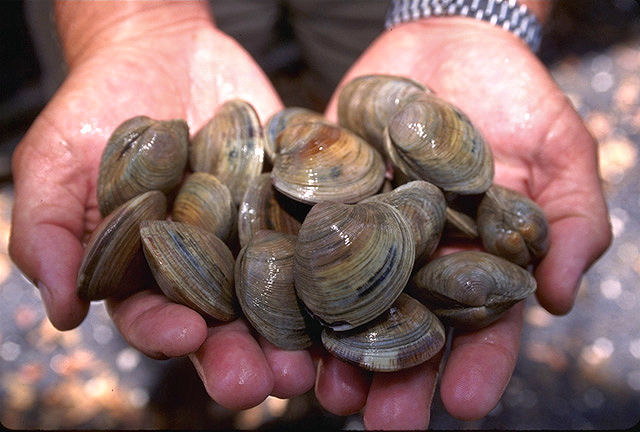 File:Littleneck clams.jpg