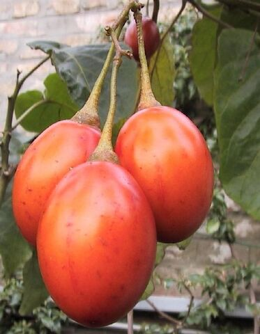 File:Tamarillo.JPG