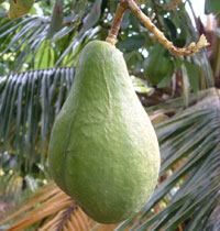 File:Avocado pear.jpg