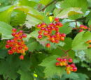 Guelder rose berry