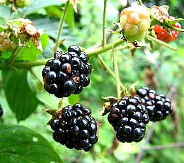 File:Blackberries.jpg