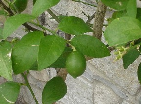 File:LimeLeaves.jpg
