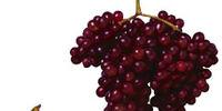 Zante grape