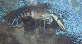 File:Europeanlobster.jpg