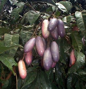 Native pear