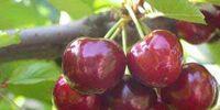 Early Richmond cherry