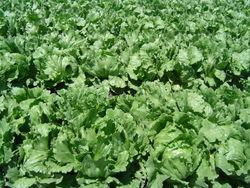 File:Lettuce1.jpg