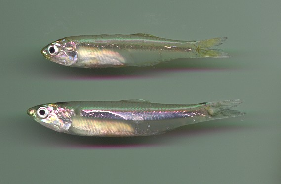 File:Anchovy.jpg